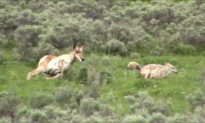 Brave pronghorn mother chases off coyote in Yellowstone National Park