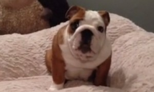 Excited Bulldog puppy can't get enough of his new cozy bed