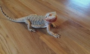 Bearded Dragon does hilarious happy dance for blueberries