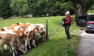Herd of grazing cows rush to listen to accordion player