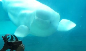 Baby beluga whale amazingly dances to the music