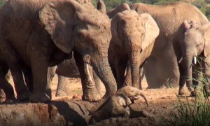 Baby elephant screams for help, family comes to the rescue