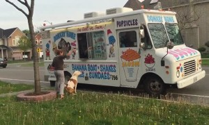 Pit Bull patiently waits in line outside ice cream truck