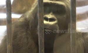 'Depressed' gorilla mopes around filthy zoo in Thai shopping mall