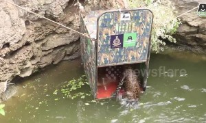 Drowning leopard jumps into wooden cage during rescue operation in India