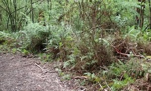 Mesmerizing Wild Lyrebird Encounter