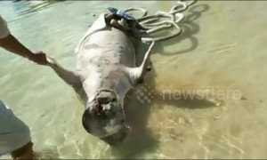 Two dugong wash up dead on Indonesian beach in mysterious circumstances