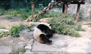 Visitors 'throw stones' at giant panda in Beijing Zoo