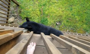 Bear Climbs Balcony to Say Hello