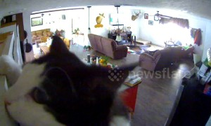 Meow-sion Impawssible? Mischievous kitty triggers home security alert