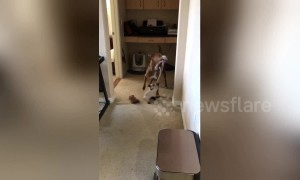 Cat vs dog in the ultimate tug of war