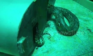 Rescuers come to python's aid after tail coils around heavy machinery in Thailand