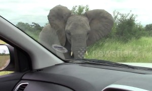A battle for territory! 'Angry' elephants warn tourists' vehicles to stay off road in South Africa