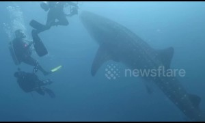 Divers have amazing encounter with hungry whale shark off Indonesia
