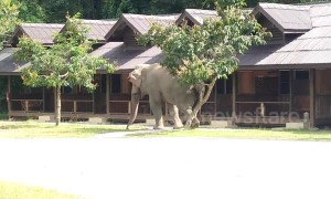 Brazen elephant stomps into Thai holiday resort to scratch its bottom on the trees