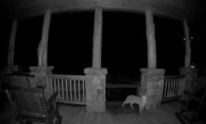 Doorbell Camera Spots Bobcat