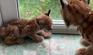 Cute Little Lynx on the Windowsill