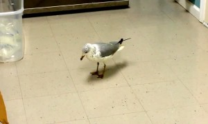 Watch this seagull hilariously tap dance on command