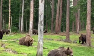 A Bunch of Brown Bears