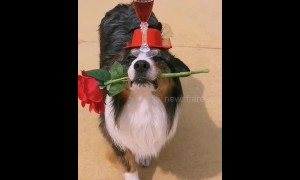 Romantic pup brings chalice of red wine and rose to owner