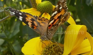 Britons urged to help count influx of painted ladies butterflies