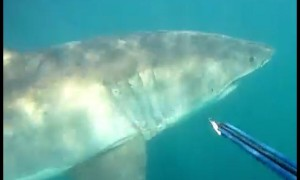 Diver's incredible face-to-face encounter with Great White Shark