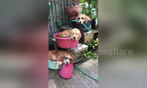 'Hot dog fountain!' Three golden retrievers cool off using buckets and a hose