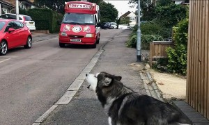 Alaskan Malamute waits for ice cream truck every single day