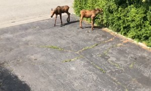 Moose Cools off Her Twin Cubs Under Sprinkler