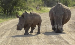 Scary moment with three huge rhinos in South Africa