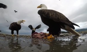 Eagle Snags and Soars with Camera