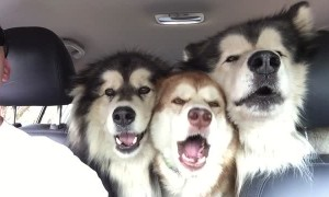 Alaskan Malamutes attempt to sing in