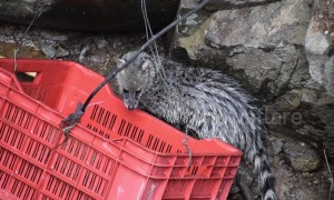Indian officials pull civet cat out of 35-foot well in marathon rescue operation