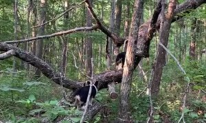 Tree Climbing Adventure Corgis