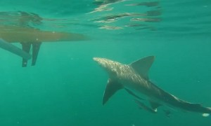 Kayakers have close encounter with sandbar shark