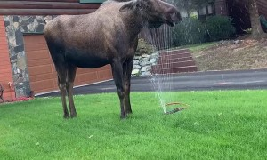 Moose Makes the Most of Garden Sprinkler