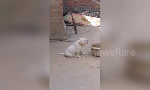 Tiny puppy imitates rooster crowing in China's Pei county