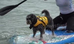 UK Dog Surfing Championships take place on south coast