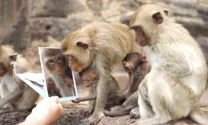 Families of monkeys admire themselves after being handed mirrors in Thailand's Lopburi