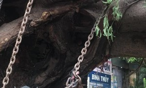 Huge Tree Transported by Truck