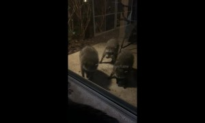 Family of curious raccoons investigate cat through glass door at California home