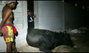 Hapless cow rescued after getting stuck in gap between two walls in Thailand