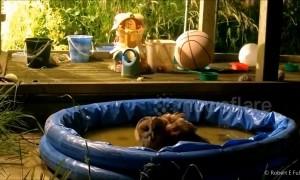 Hoot tub! UK owl cools off in kids pool