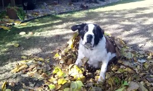 Big Dog Thinks he can Hide Under Leaves