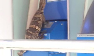 Lizard Tries to Break into Bank