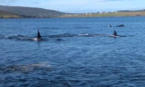Killer Whale Migration Passes Within Metres