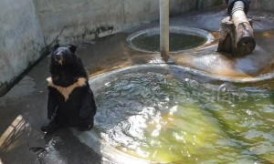 Un-bear-able heat! Bear 'back flops' into pool to cool off from soaring temperatures at Thai breeding centre