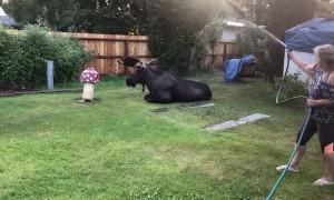 Moose Settles for a Shower