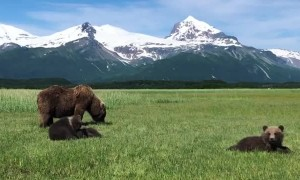 Family of Bears Graze on Grass