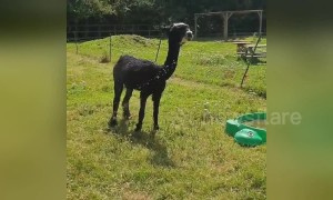 Hot alpaca hosed down to combat UK heatwave at farm in London